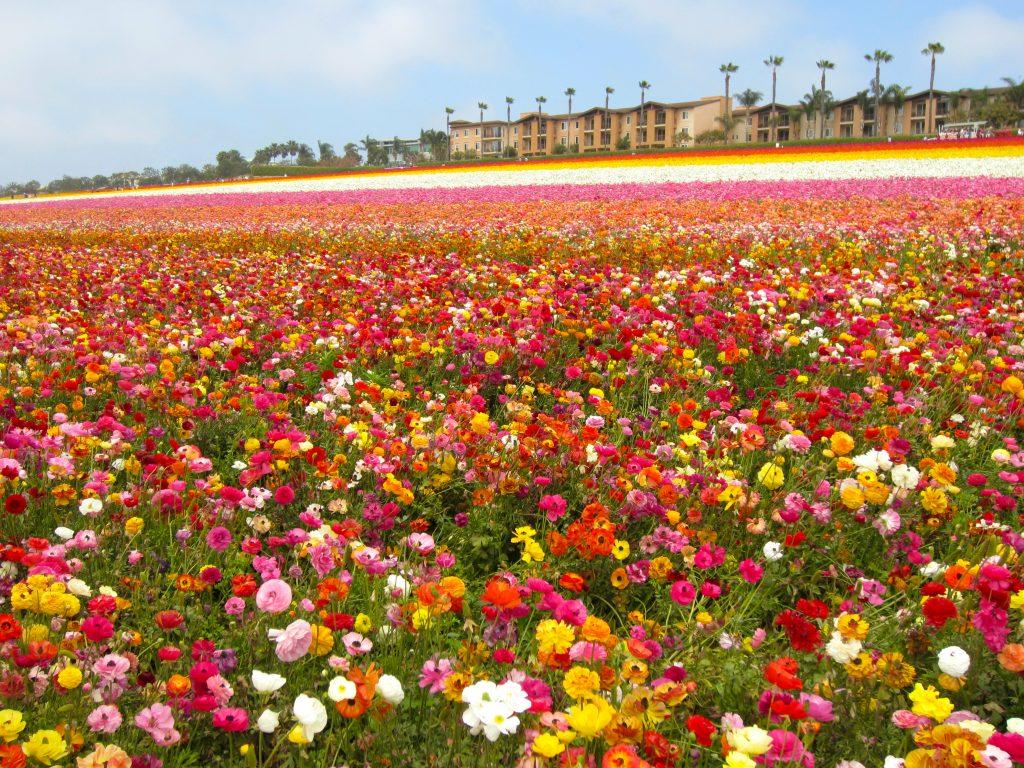 Menakjubkan Ladang Ladang Bunga Terindah Di Dunia Ini