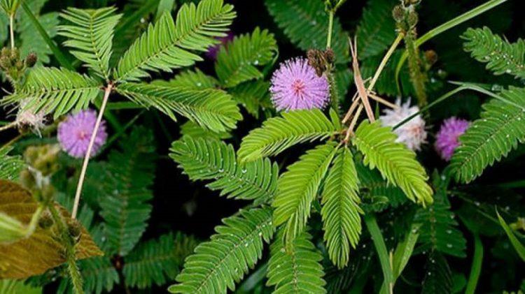Harga Bibit Tanaman Putri Malu Sensitive Plant Harga Rp 27 000 Source · Tanaman Liar Berkhasiat