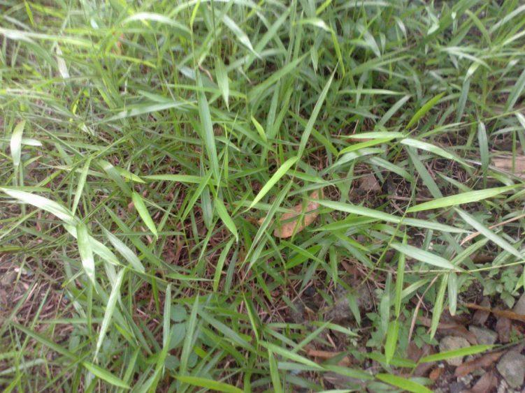 Image result for rumput memanjang di kebun