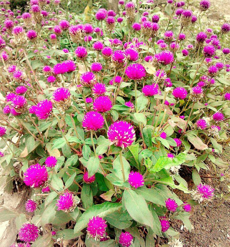 Tanaman Liar Berkhasiat Obat - Bunga Kenop(Ratna)