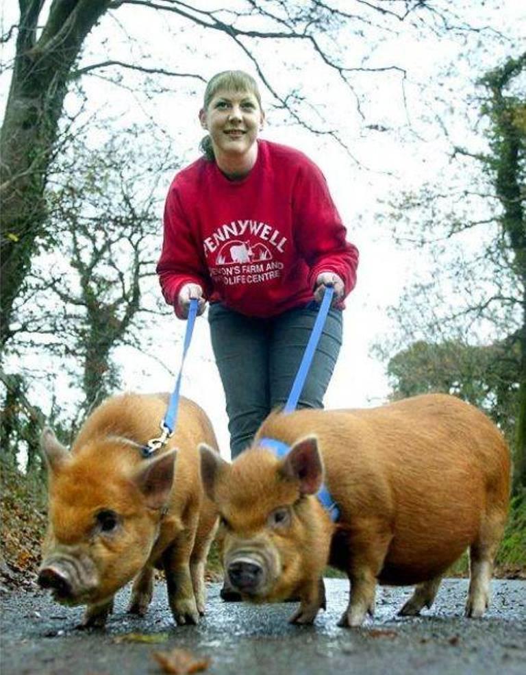 77+ Gambar Hewan Peliharaan Babi Terbaru