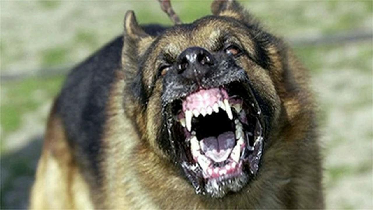 Hati Hati Inilah Daftar Anjing Paling Agresif Dan Terganas Didunia Blog Unik