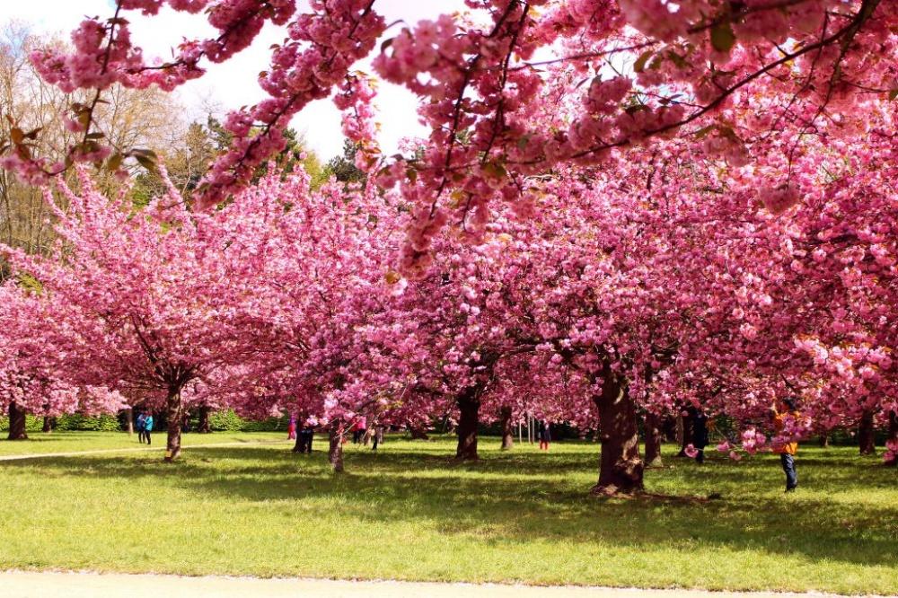 64 Gambar Taman Bunga Sakura Terindah Terlihat Keren
