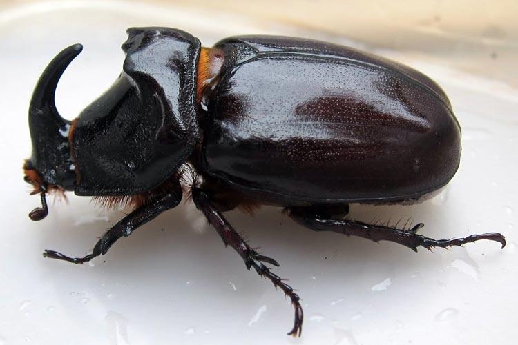 Mitos Tentang Kehadiran Beberapa Hewan Beserta Artinya - Kumbang badak bercula
