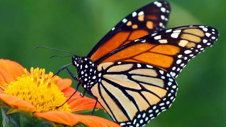 Mitos Tentang Kehadiran Beberapa Hewan Beserta Artinya - Kupu-kupu
