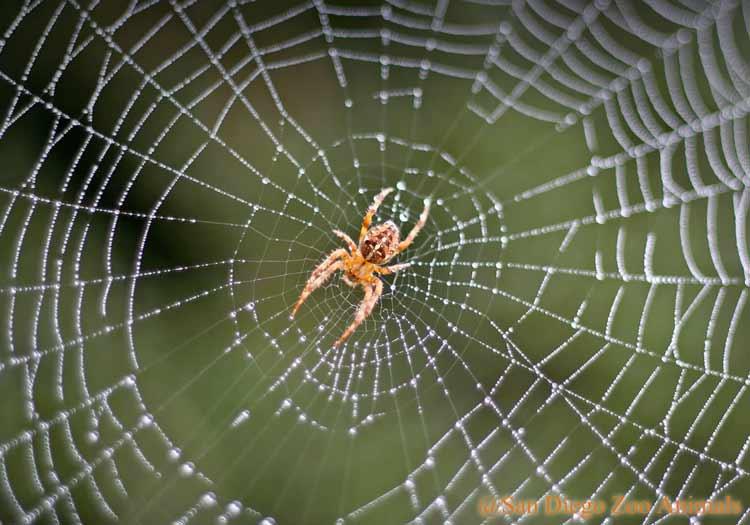 Mitos Tentang Kehadiran Beberapa Hewan Beserta Artinya - Laba-laba