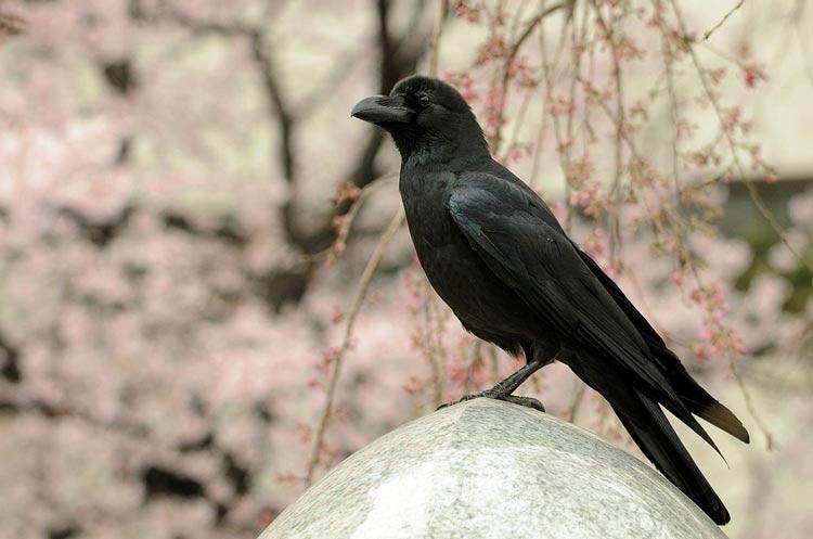 Mitos Tentang Kehadiran Beberapa Hewan Beserta Artinya - Burung Gagak