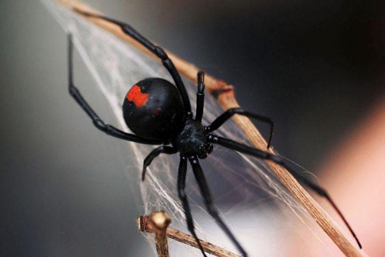 Binatang Kecil yang Memiliki Kemampuan Membunuh Sangat Mematikan Laba-laba punggung merah (Redback)