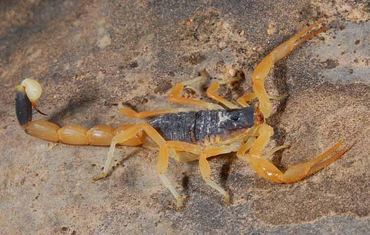Binatang Kecil yang Memiliki Kemampuan Membunuh Sangat Mematikan Kalajengking Deathstalker