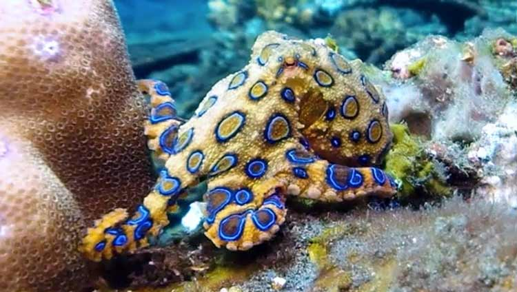Binatang Kecil yang Memiliki Kemampuan Membunuh Sangat Mematikan Gurita cincin biru