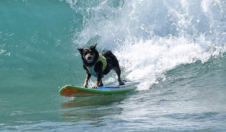 Berbagai Jenis Lomba Terunik di Dunia Dog Surfing