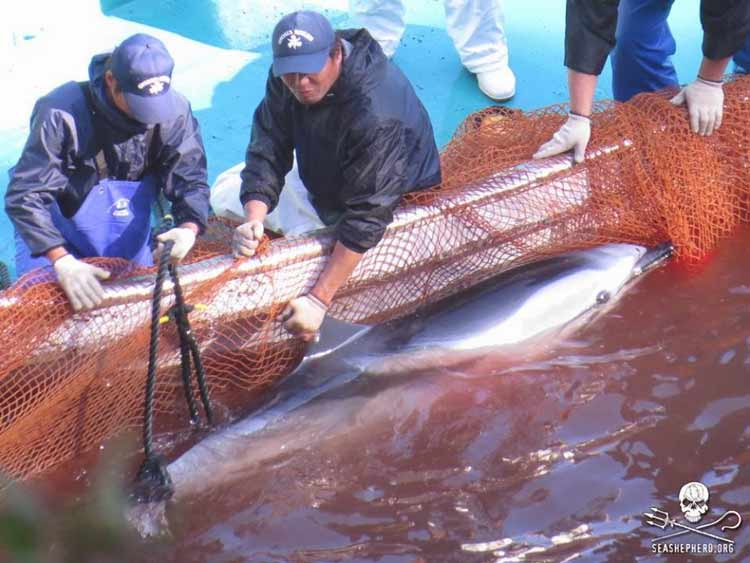 Mengerikan! Fakta Seputar Tradisi Pembantaian Lumba-Lumba di Jepang - Lokasi perburuan