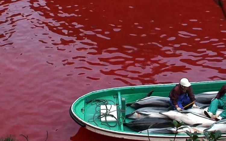Mengerikan! Fakta Seputar Tradisi Pembantaian Lumba-Lumba di Jepang - Aturan cara penangkapan / pembunuhan Lumba-lumba