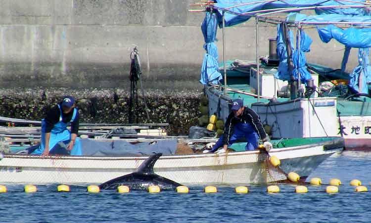 Mengerikan! Fakta Seputar Tradisi Pembantaian Lumba-Lumba di Jepang - Mendapat dukungan Pemerintah