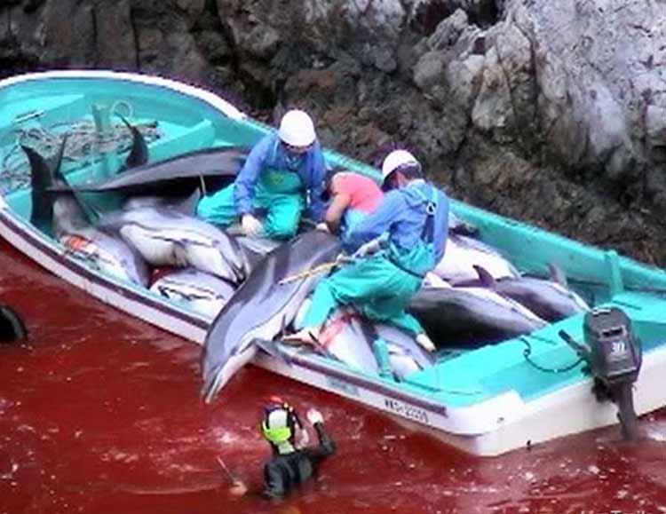 Mengerikan! Fakta Seputar Tradisi Pembantaian Lumba-Lumba di Jepang - Keseimbangan ekosistem terancam