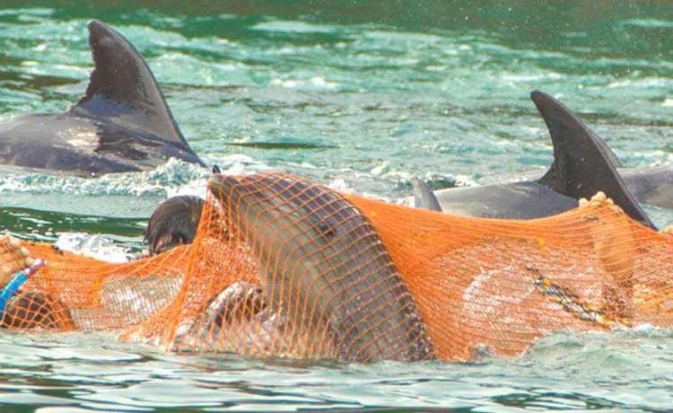 Mengerikan! Fakta Seputar Tradisi Pembantaian Lumba-Lumba di Jepang - Dampak langsung perburuan lumba-lumba