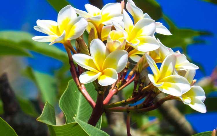 Tanaman Pengusir Nyamuk - Bunga Kamboja