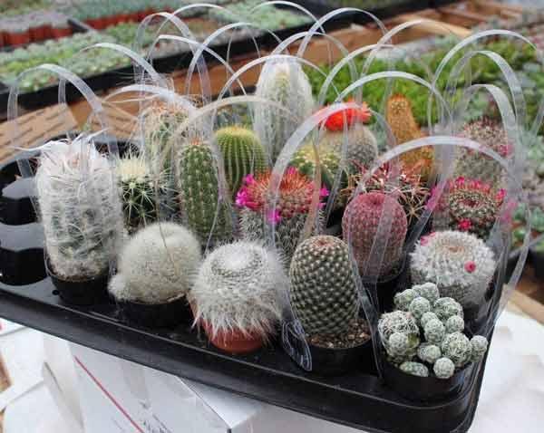 Tips Memilih Kado Yang Tepat Untuk Ultah Pacar Wanita - Kaktus hias mini