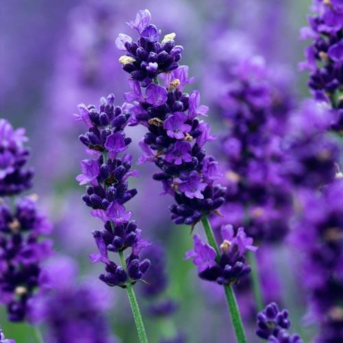 Tanaman Pengusir Nyamuk - Lavender