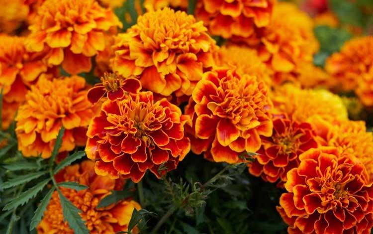 Tanaman Pengusir Nyamuk - Marigold