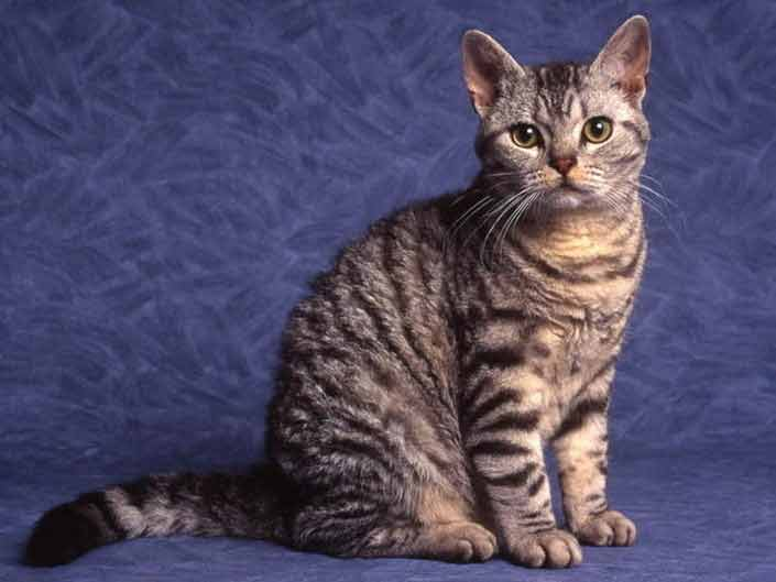 Jenis-jenis Kucing Yang Ada Di Dunia - American Wirehair