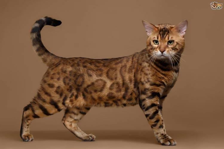 Jenis-jenis Kucing Yang Ada Di Dunia - Bengal