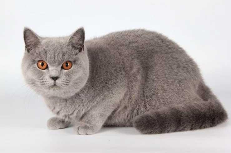 Jenis-jenis Kucing Yang Ada Di Dunia - British Shorthair