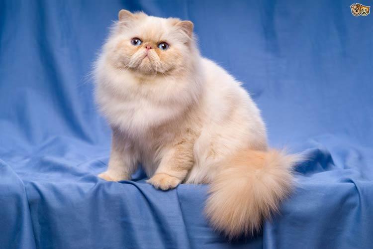 Jenis-jenis Kucing Yang Ada Di Dunia - Persian