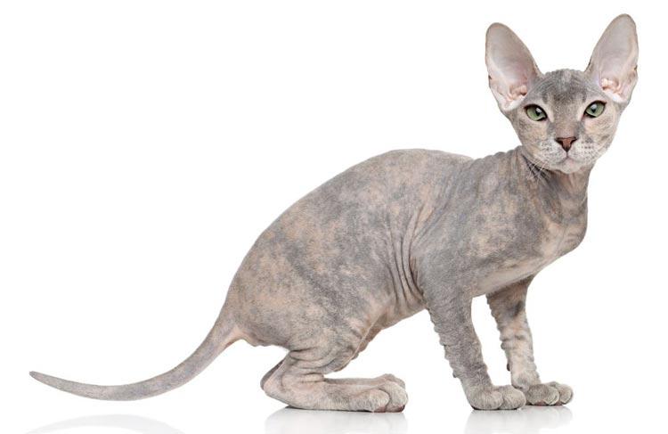 Jenis-jenis Kucing Yang Ada Di Dunia - Peterbald