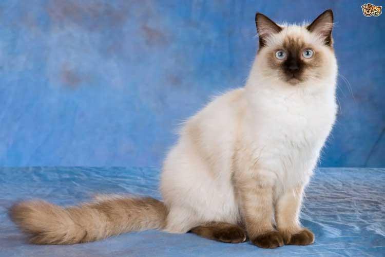 Jenis-jenis Kucing Yang Ada Di Dunia - Ragdoll
