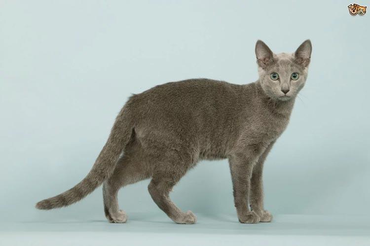Jenis-jenis Kucing Yang Ada Di Dunia - Russian Blue