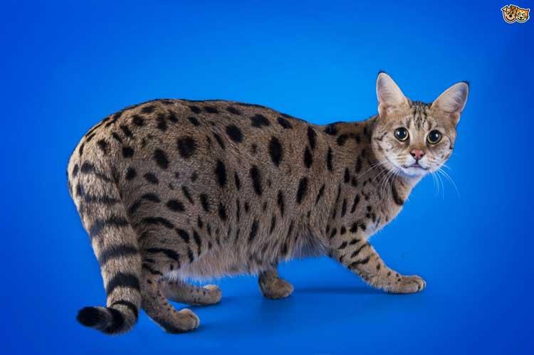Jenis-jenis Kucing Yang Ada Di Dunia - Savannah