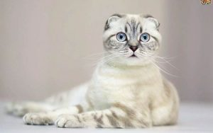 Jenis Kucing di Dunia - Scottish Fold