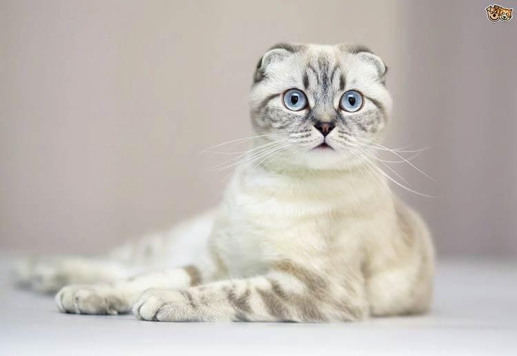 Jenis-jenis Kucing Yang Ada Di Dunia - Scottish Fold