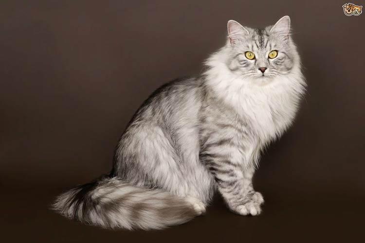 Jenis-jenis Kucing Yang Ada Di Dunia - Siberian Forest Cat