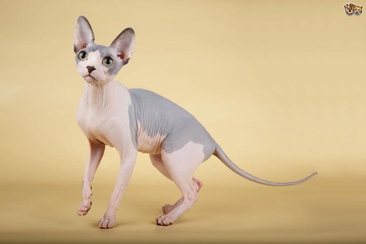 Jenis-jenis Kucing Yang Ada Di Dunia - Sphynx
