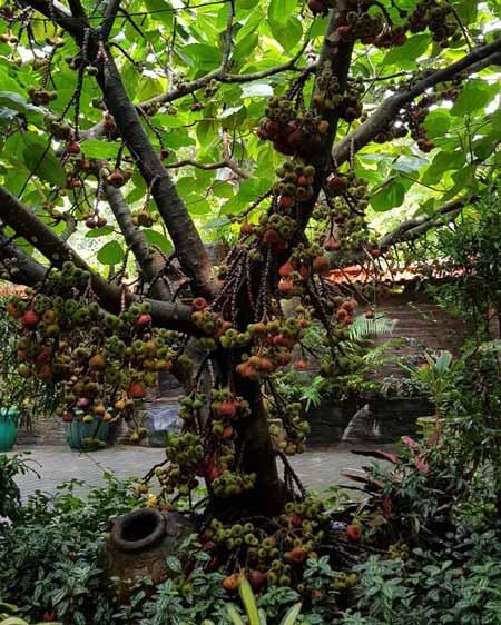 Pohon Yang Dipercaya Banyak Makhluk Halusnya - Pohon Ara