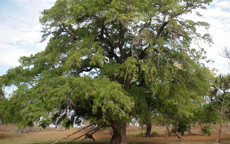 Pohon Yang Dipercaya Banyak Makhluk Halusnya - Pohon Asam Jawa