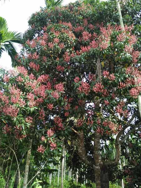 Pohon Yang Dipercaya Banyak Makhluk Halusnya - Pohon Bacang