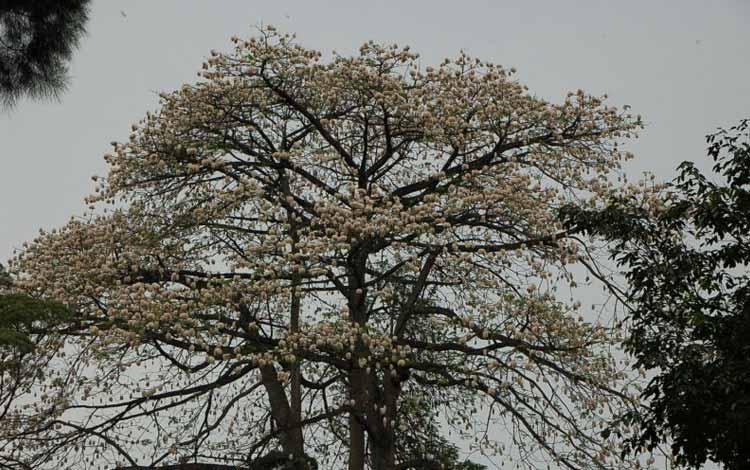 Pohon Yang Dipercaya Banyak Makhluk Halusnya - Pohon Kapuk Randu