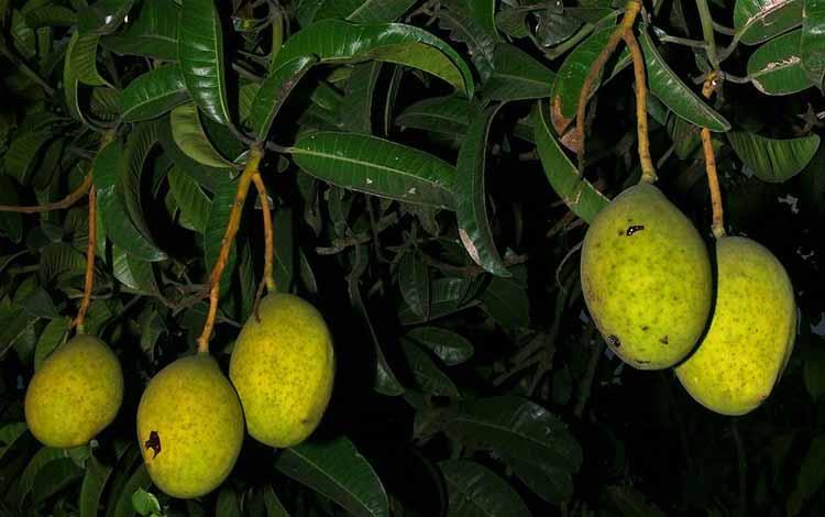 Pohon Yang Dipercaya Banyak Makhluk Halusnya - Pohon Limus