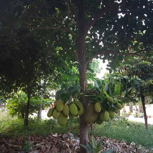 Pohon Yang Dipercaya Banyak Makhluk Halusnya - Pohon Nangka