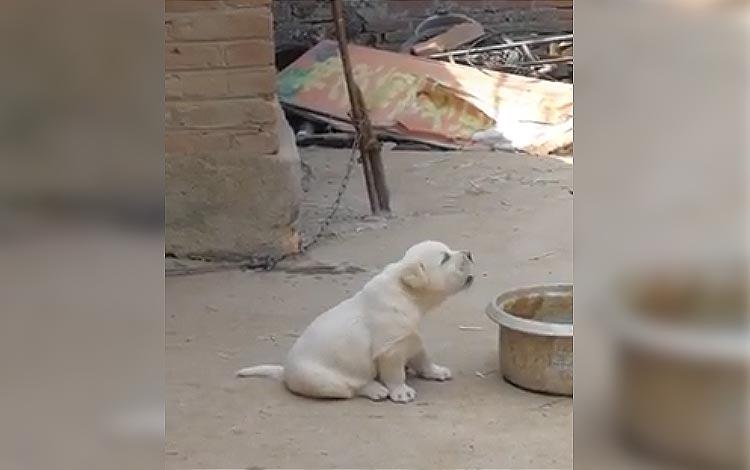 Video lucu anak anjing berkokok