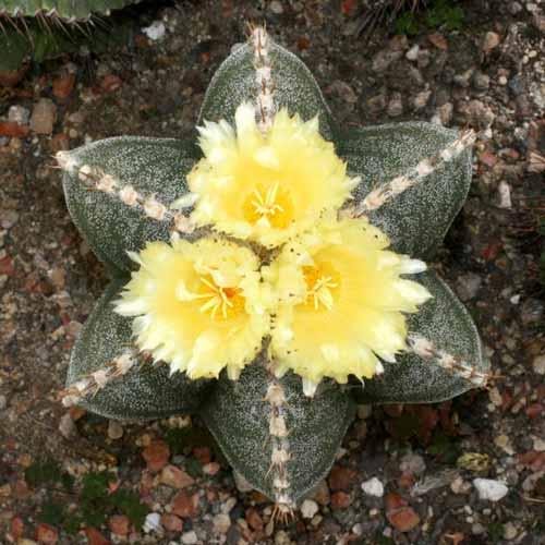 Jenis Kaktus Hias Mini - Astrophytum