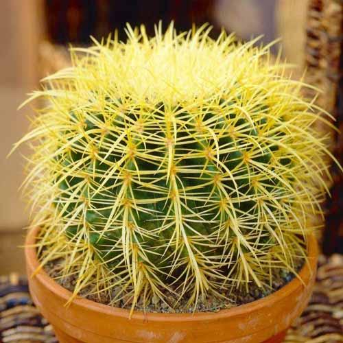 Jenis Kaktus Hias Mini - Echinocactus Grusonii