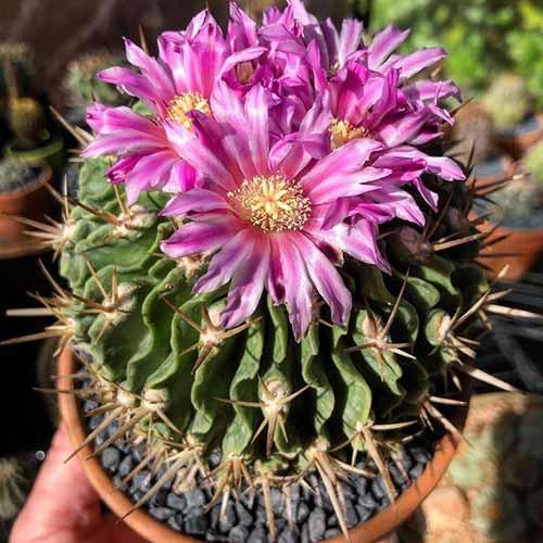 Jenis Kaktus Hias Mini - Echinofossulocactus