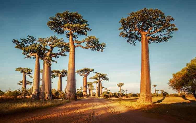 Berbagai Pohon Terunik Di Dunia Yang Bakalan Membuat Kita Berdecak Kagum - Pohon Baobab