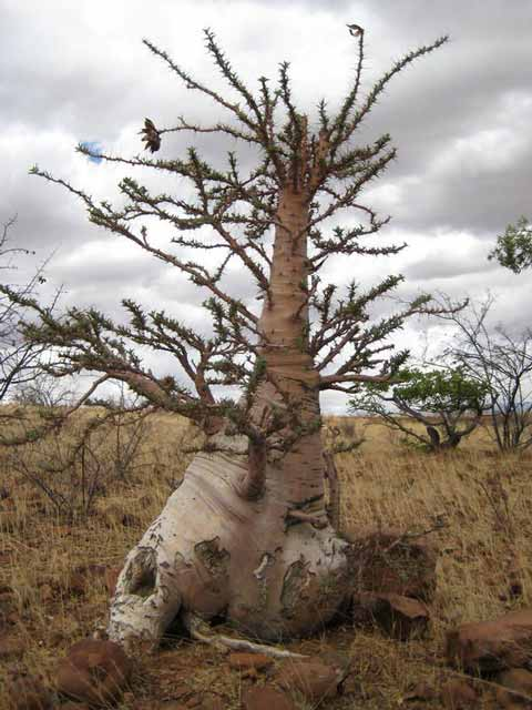 Berbagai Pohon Terunik Di Dunia Yang Bakalan Membuat Kita Berdecak Kagum - Pohon Botol