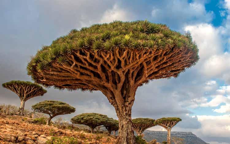 Berbagai Pohon Terunik Di Dunia Yang Bakalan Membuat Kita Berdecak Kagum - Pohon Darah Naga