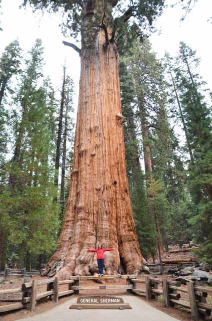 Berbagai Pohon Terunik Di Dunia Yang Bakalan Membuat Kita Berdecak Kagum - Pohon General Sherman